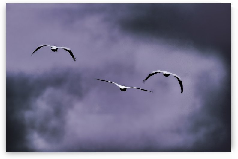 American White Pelican abstract 5  by Linda Brody