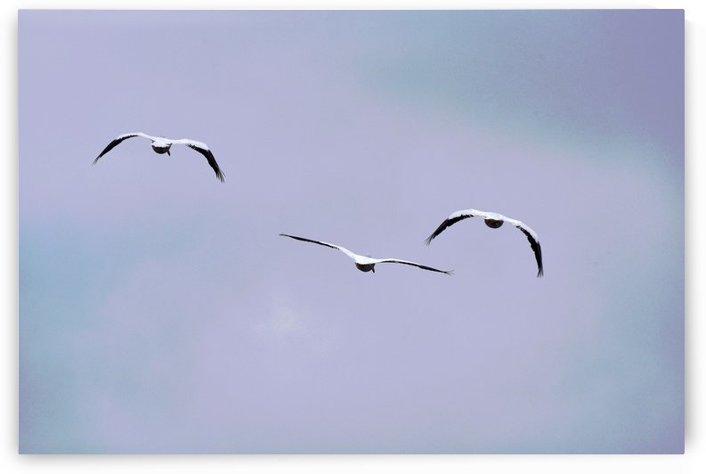 American White Pelican abstract 2 by Linda Brody