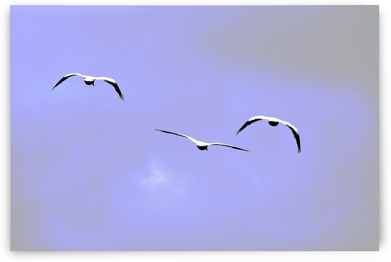 American White Pelican abstract 1 by Linda Brody