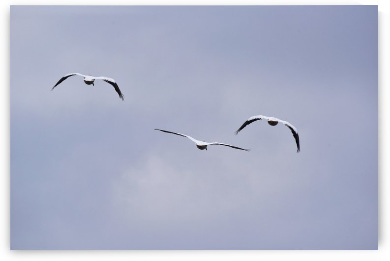 American White Pelican abstract 3 by Linda Brody