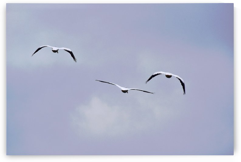 American White Pelican abstract 4  by Linda Brody
