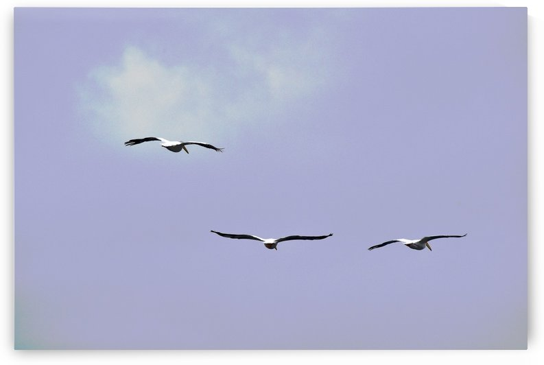 American White Pelican 1 abstract 1 by Linda Brody