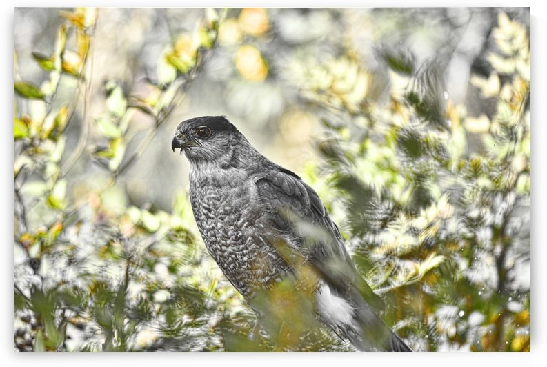 Coopers Hawk Abstract 2  by Linda Brody