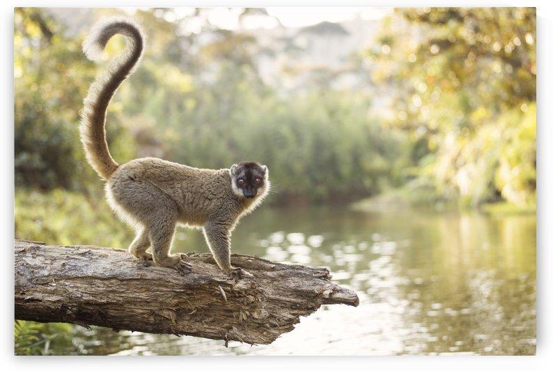 Lemur in his natural habitat, Madagascar by MIRICA DAN-ALEXANDRU