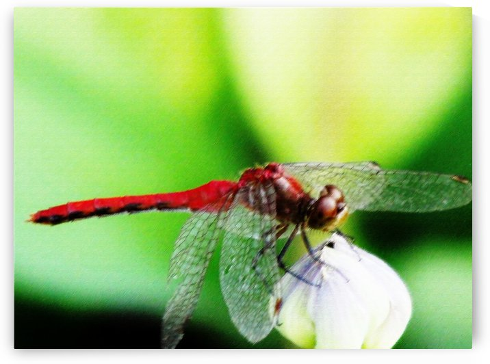 Red Dragonfly 3 by Don  Baker