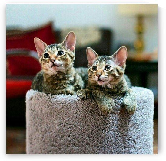 Tabby Kittens by Kayathiri Vaithilingam