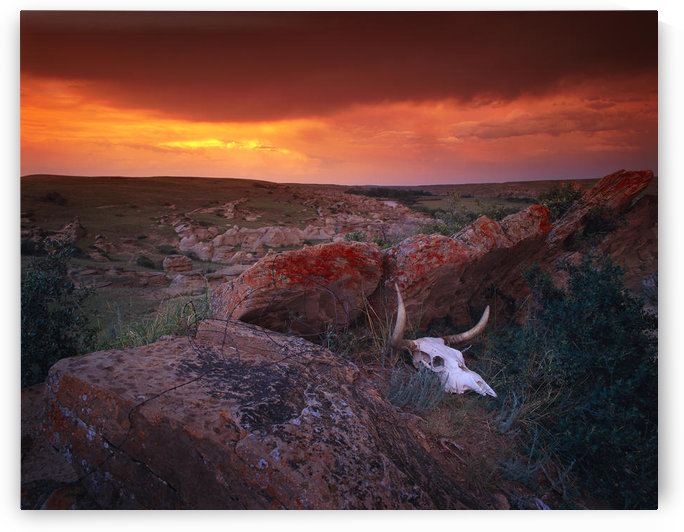 Cow Skull With Large Rocks In Field With Sunset, Writing On Stone Provincial Park, Alberta, Canada by PacificStock