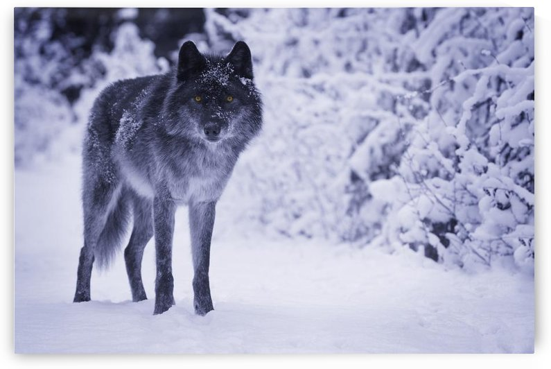 Wolf by PacificStock