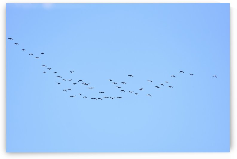 Flock of Geese 3  by Linda Brody