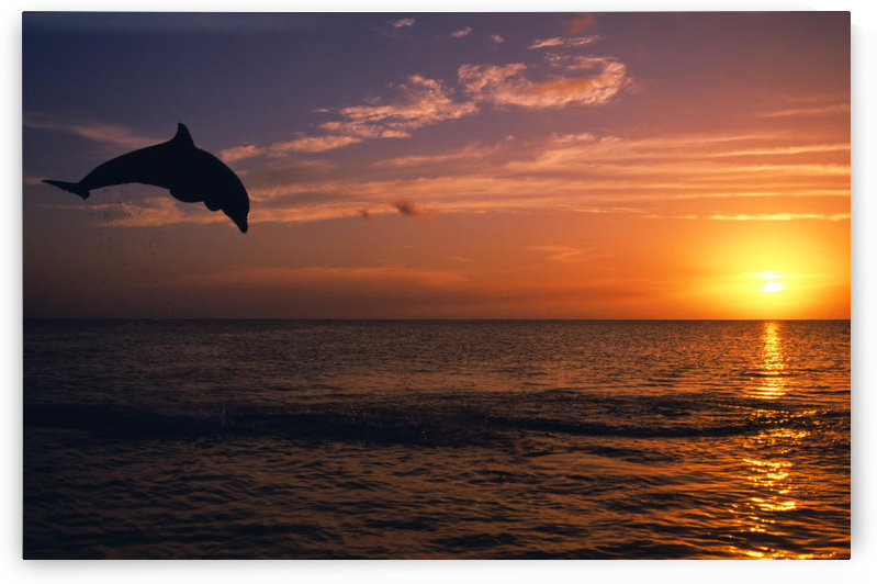 Silhouette Of Bottlenose Dolphin Leaping Over Ocean At Sunset, Caribbean Sea by PacificStock