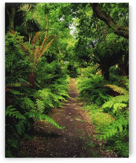 Glanleam, Co Kerry, Ireland; Pathway Lined By Tree Ferns (Dicksonia Antartica) by PacificStock