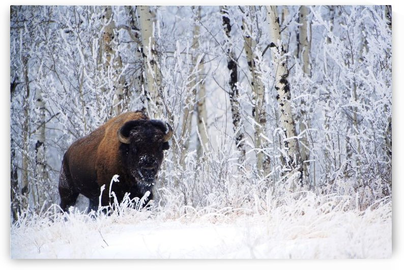 Bison In The Snow, Elk Island National Park, Alberta, Canada by PacificStock