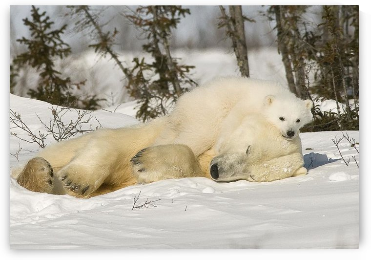 Polar Bear With Cub In Snow by PacificStock