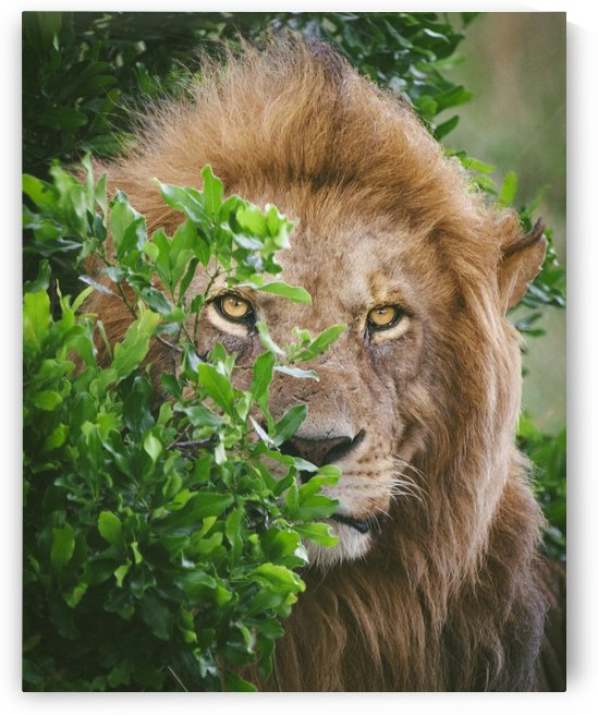 King of the Jungle  by Raisa Mirza