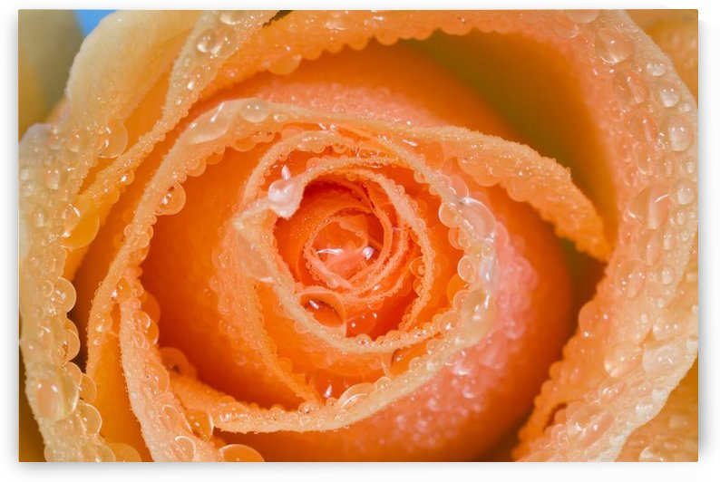 Orange Rose With Dew by PacificStock