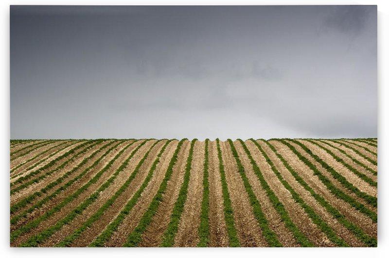 Potato Field by PacificStock