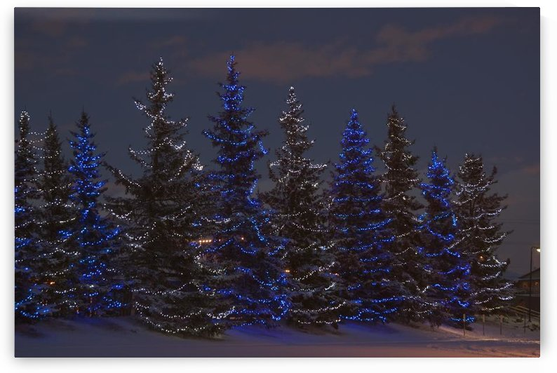 Calgary, Alberta, Canada; A Row Of Evergreen Trees With Christmas Lights by PacificStock