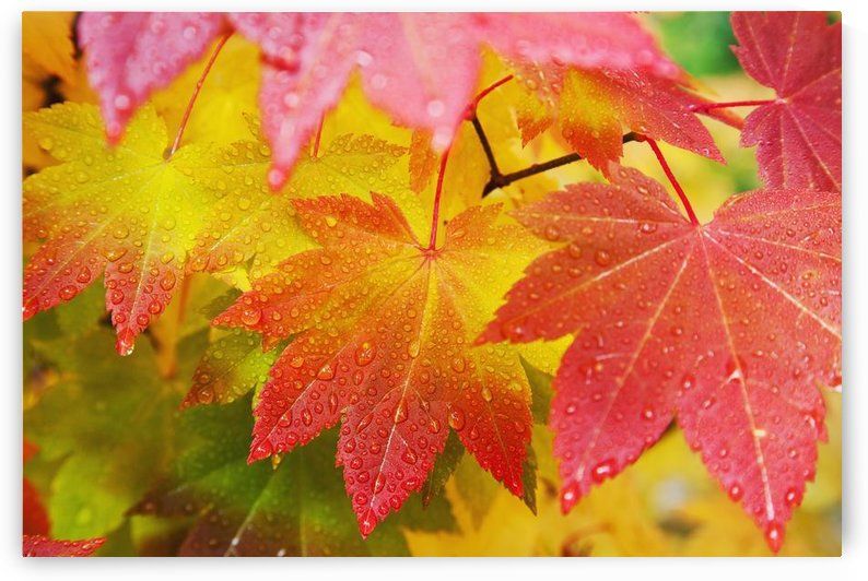 Washington, United States Of America; Leaves From A Vine Maple In Mount Rainier National Park by PacificStock