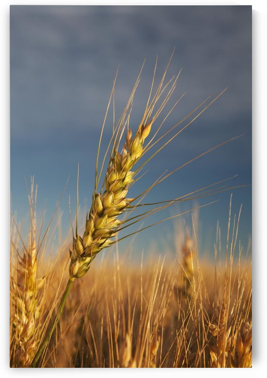 Ripe Wheat Head At Sunrise; Alberta, Canada by PacificStock