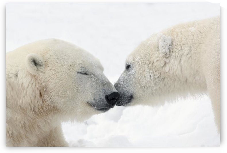 Two Polar Bears (Ursus Maritimus) Touching Noses Or Kissing; Churchill, Manitoba, Canada by PacificStock