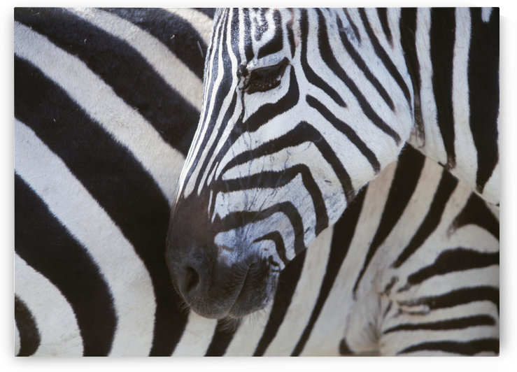 Zebras Face And Mid Body, Close Up by PacificStock