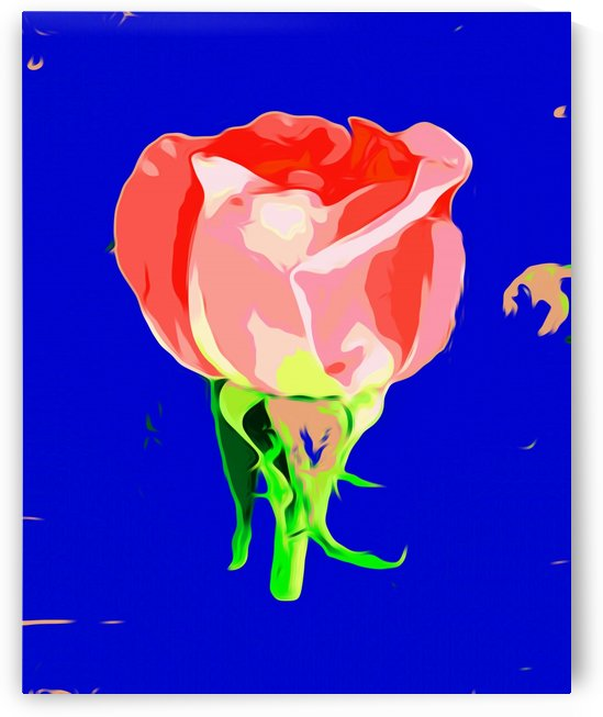 red rose with dark blue background by TimmyLA