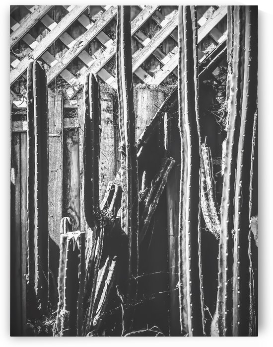cactus with wooden fence in black and white by TimmyLA