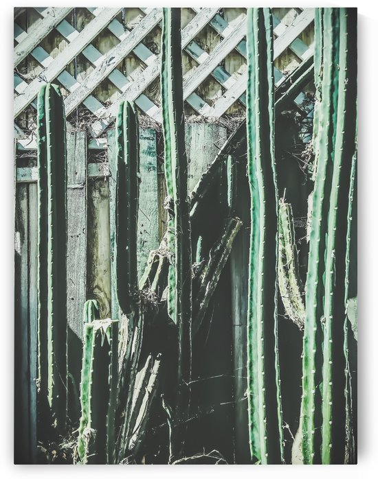 cactus with green and white wooden fence background by TimmyLA