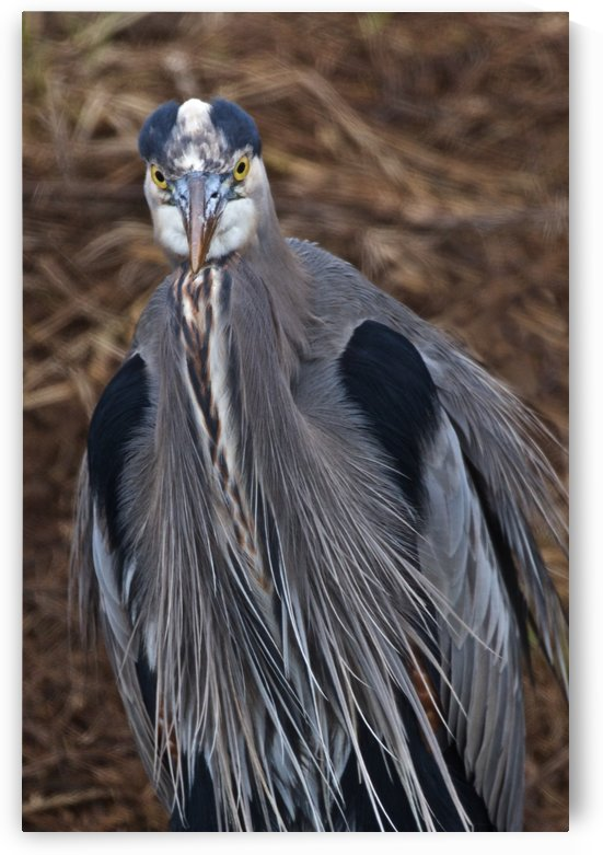 Face on view of great blue heron by Craig Nowell Stott