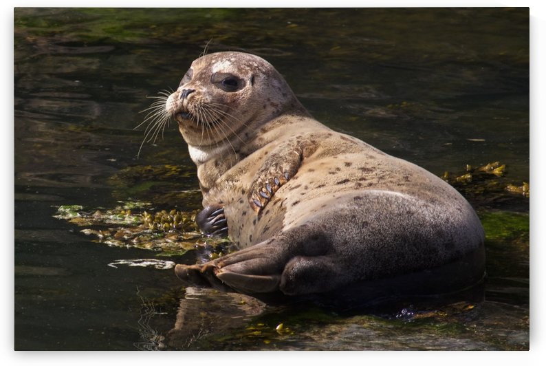 Sea lion posing by Craig Nowell Stott
