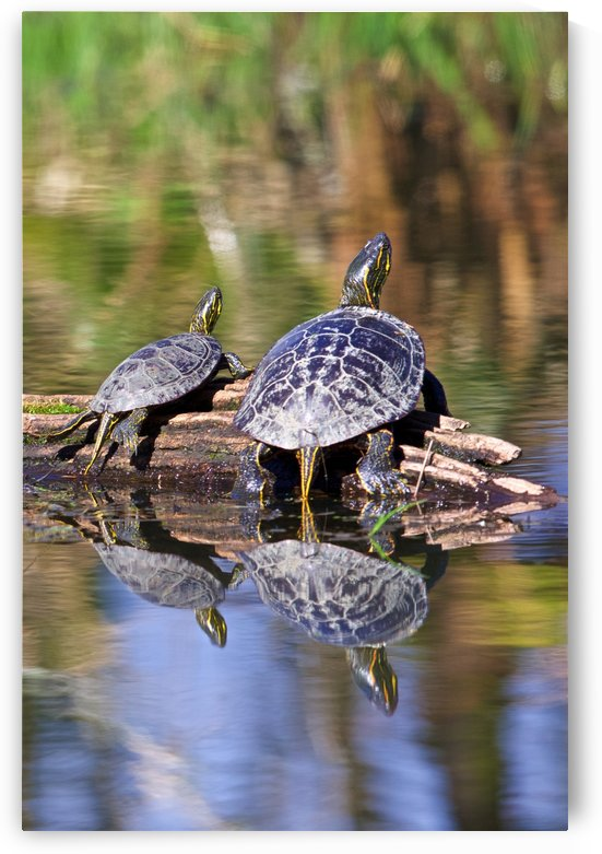 Turtle reflections portrait by Craig Nowell Stott