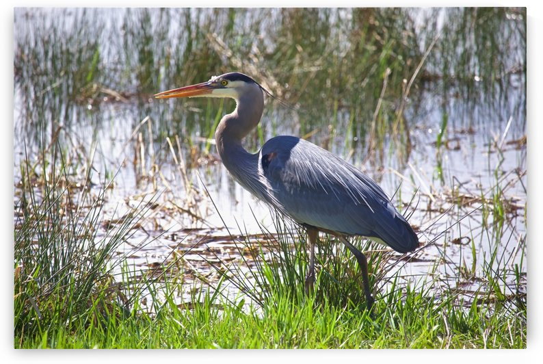 Great Blue Heron profile by Craig Nowell Stott