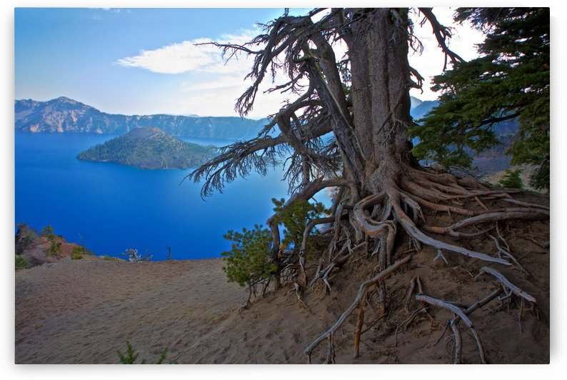 Gnarled White Pine overlooking Crater Lake Aug 2015 by Craig Nowell Stott