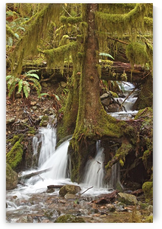 Water flowing through tree roots at Opal Creek Wilderness, Oregon by Craig Nowell Stott