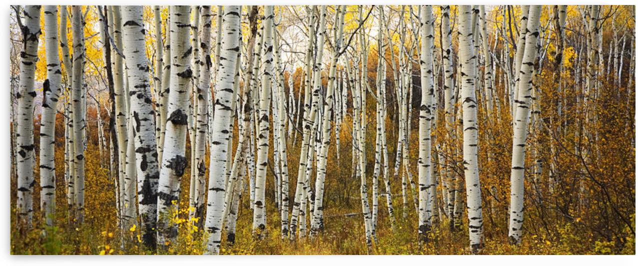 Colorado, Steamboat, Aspen Tree Trunks In Grove, Yellow Autumn Leaves. by PacificStock