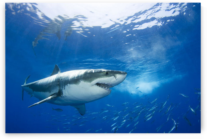 Mexico, Great White Shark (Carcharodon Carcharias); Guadalupe Island by PacificStock