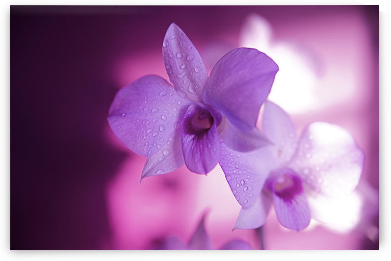 Hawaii, Kauai, White Orchid With Pink Lighting. by PacificStock
