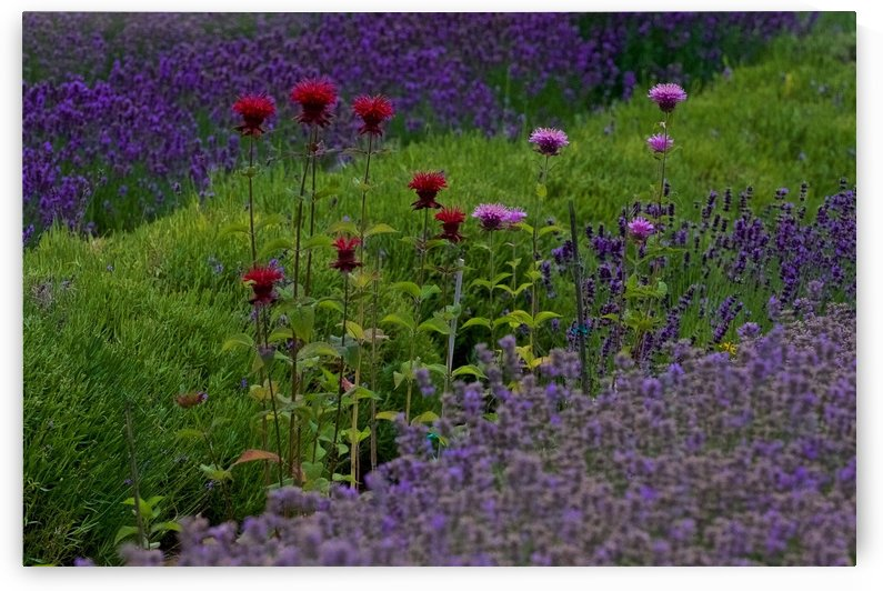 Bee Balm Blooming in Lavender Field by Craig Nowell Stott