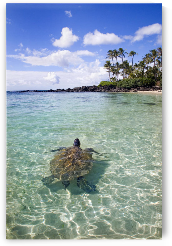 Hawaii, Green Sea Turtle (Chelonia Mydas) An Endangered Species. by PacificStock
