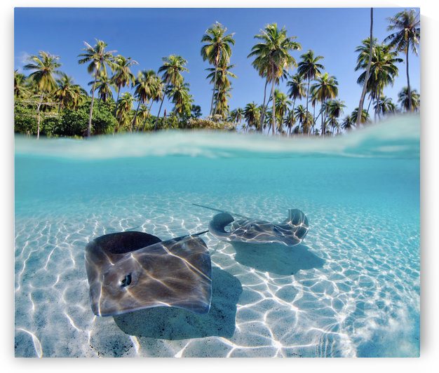 French Polynesia, Tahiti, Moorea, Two Stingray In Beautiful Turquoise Water. by PacificStock