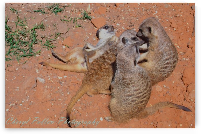 Meerkat Family by Cheryl Pollan