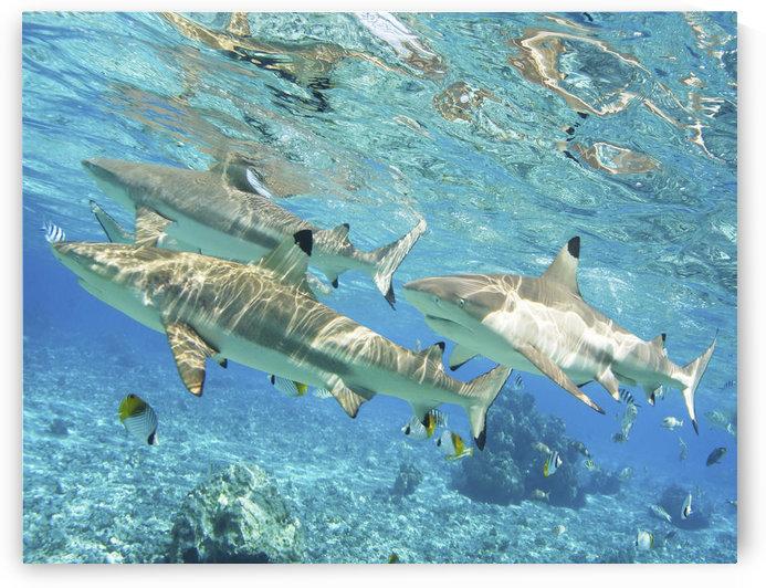 French Polynesia, Rangiroa, Blue Lagoon, Blacktip Reef Shark (Carcharhinus Melanopterus). by PacificStock