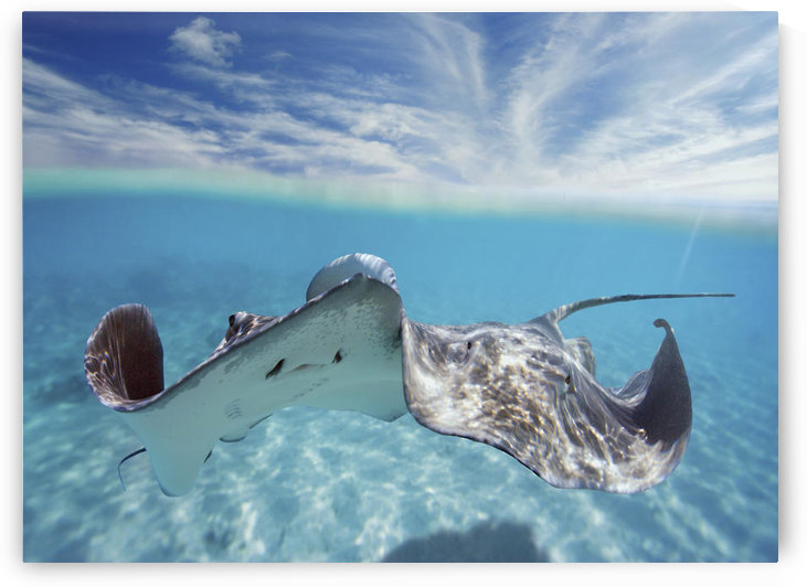 French Polynesia, Tahiti, Bora Bora, Stingray In Beautiful Turquoise Water. by PacificStock