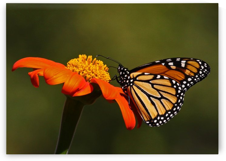 Monarch Butterfly 21 by Guy Lichter