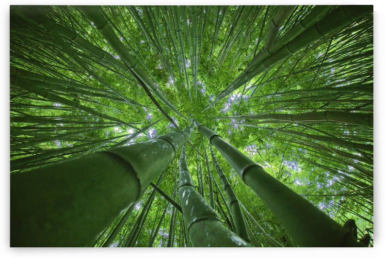 Hawaii, Maui, Bamboo Forest. by PacificStock