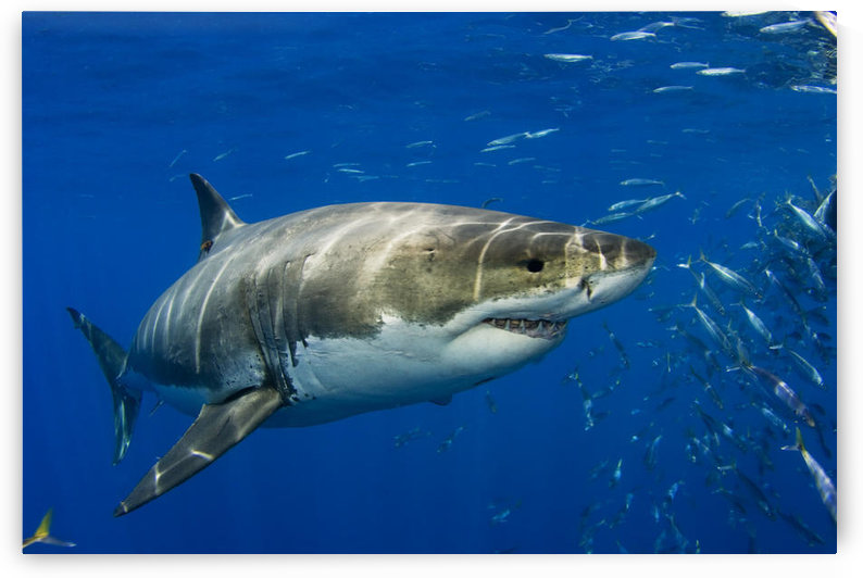 Mexico, Fish Schooling Nearby ; Guadalupe Island, Great White Shark (Carcharodon Carcharias) In Open Water by PacificStock