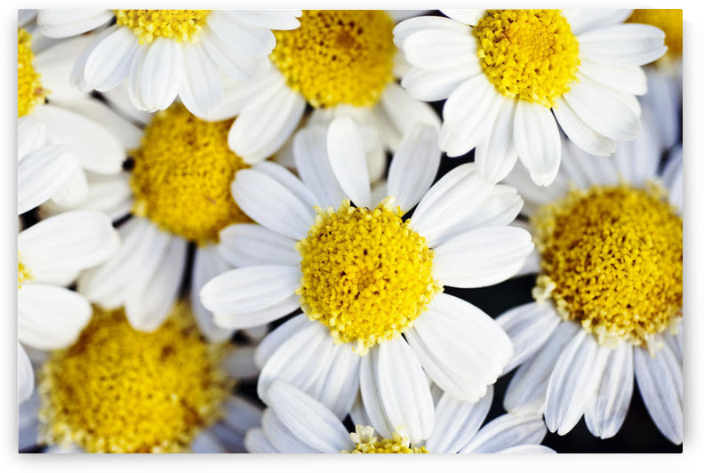 Summer Daisies (Anthemis Punctata), Cluster Of White Blossoms, View From Above. by PacificStock