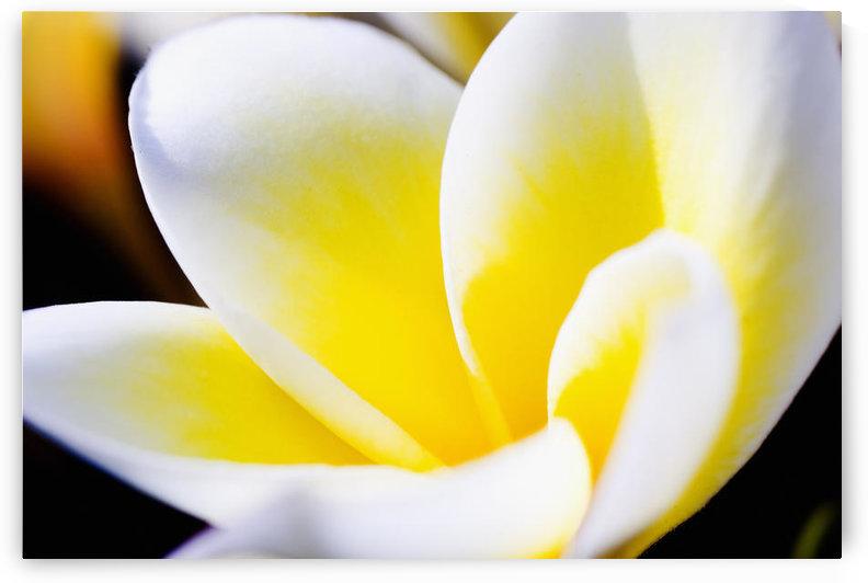 Thailand, Phuket, Kata Noi, Close Up Of Plumeria Flower. by PacificStock
