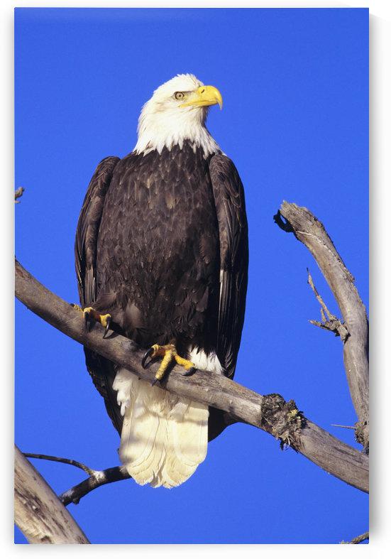 Alaska, Haines Bald Eagle Reserve, Bald Eagle (Haliaeetus Leucocephalus) Perched On A Branch. by PacificStock