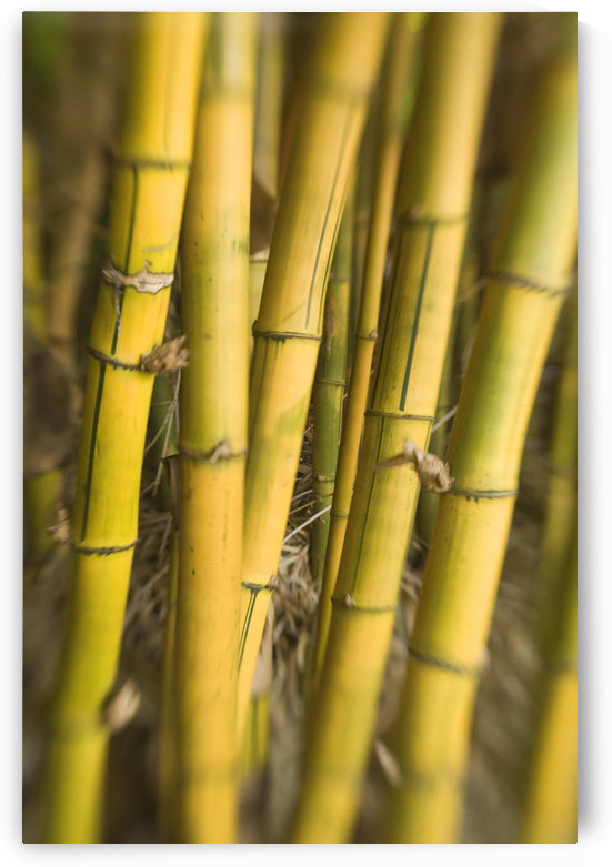 Close-Up Of Bamboo Stalks. by PacificStock